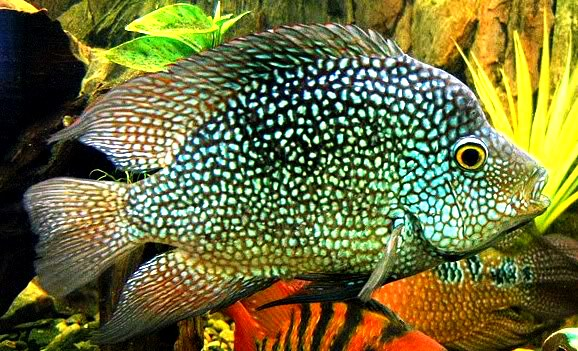 Electric Blue Texas Cichlid - 2-3 inch